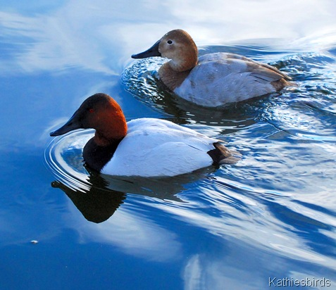 9. Canvasbacks-kab