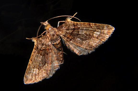 Geometridae : Larentiinae : Eupitheciini : Phrissogonus laticostata WALKER, 1862. Umina Beach (NSW, Australie), 3 octobre 2011. Photo : Barbara Kedzierski