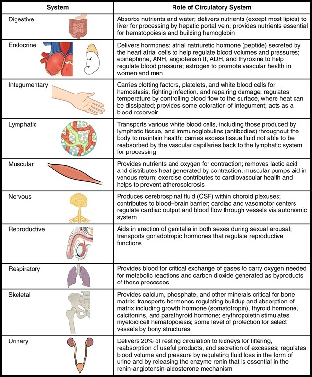 Interaction of the Circulatory System with Other Body Systems
