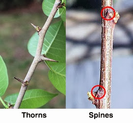Thorns  and Spines