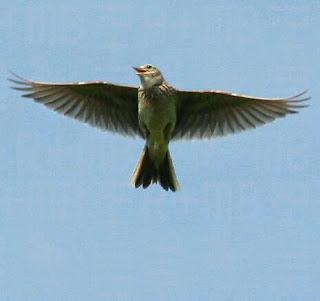 skylark bird