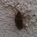 Rain Click Beetle