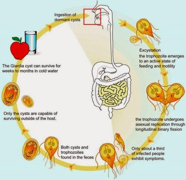 Life cycle of giardia lamblia, giardiasis