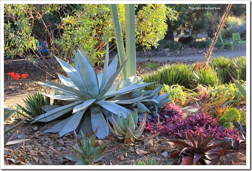 131004_RBG_Fall_Agave-titanota-white-form_01