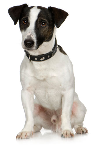 jack russell terrier black and white - photo #46