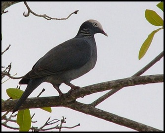 01a2 - White Crowned Pigeon
