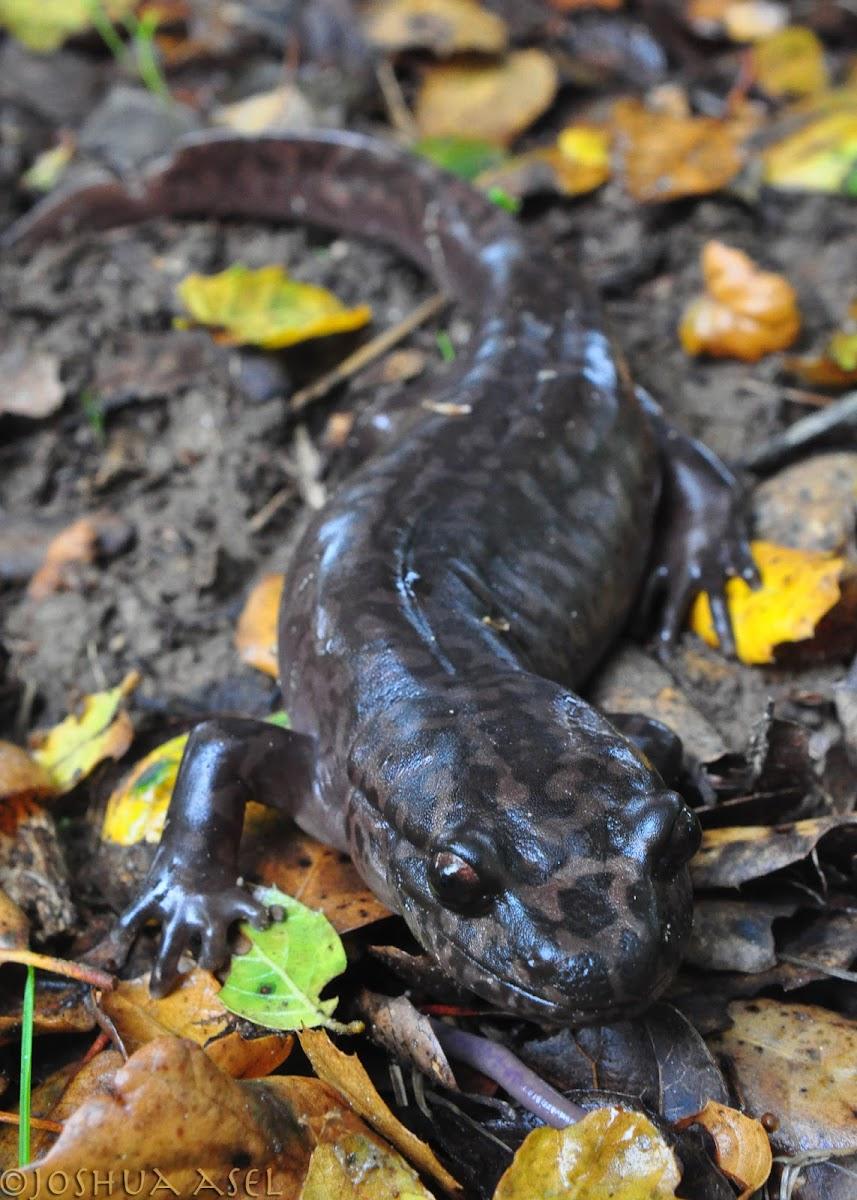 Ca. Giant Salamander