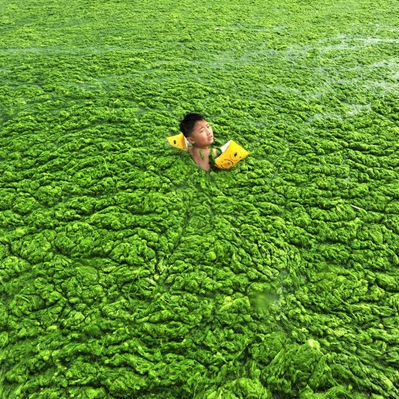 Chinese Beachgoers Disregard Algae. Goes Swimming