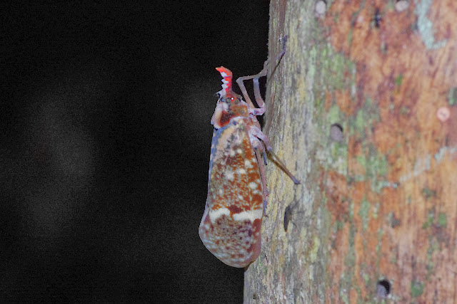 Fulgoridae : Phrictus moebiusi SCHMIDT, 1905. Los Cedros, 1400 m, Montagnes de Toisan, Cordillère de La Plata (Imbabura, Équateur), 18 novembre 2013. Photo : J.-M. Gayman