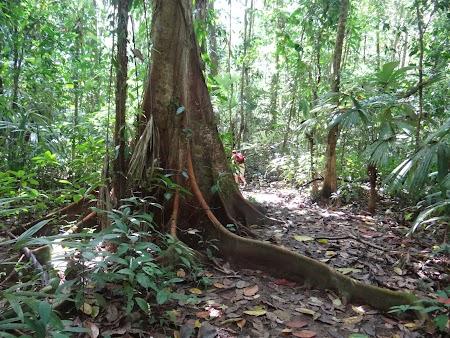 10. Arbore tropical in jungla Corcovado.JPG