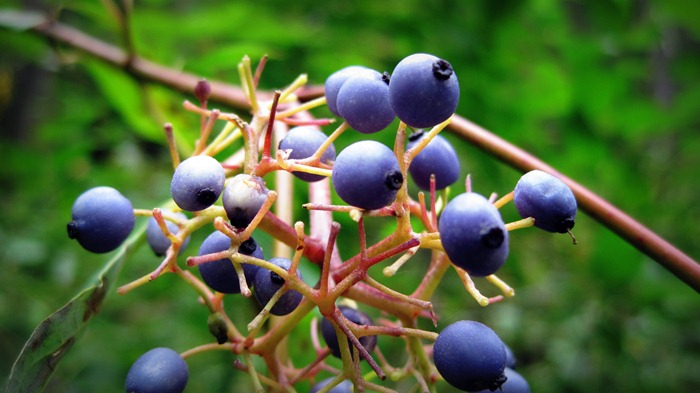 possibly Oregon Grapes in Millcreek Canyon Utah