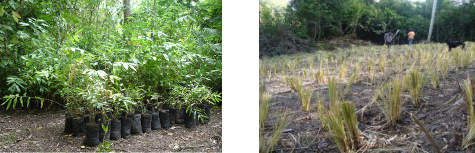Venta-Bambú-Vetiver-Parque Bambú-Ecuador