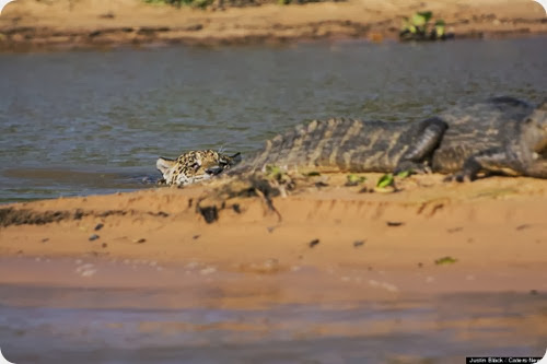 jaguar vs caiman3