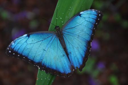 Fluturi tropicali din Costa Rica: Magnificul Blue Morpho