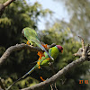 Plum-headed Parakeet (male, female)