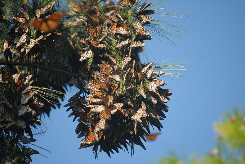 monarch-migration-9