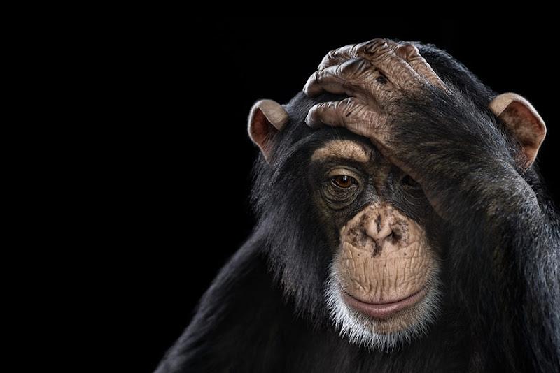 animal-photography-affinity-Brad-Wilson-chimpanzee.jpeg