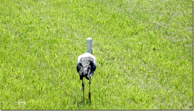 2014-07-19 Sommertag 021 Storch