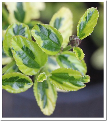120325_Ceanothus-Diamond-Heights_01