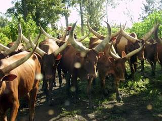 Elevage des bovins au Nord-Kivu.
