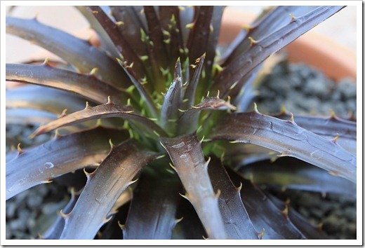 120715_Dyckia-Burgundy-Ice_18