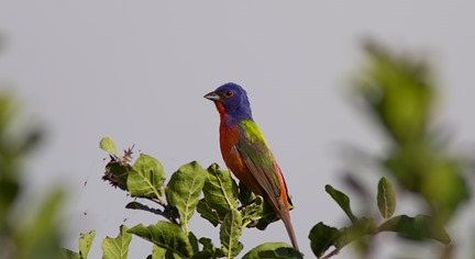 Painted Bunting BSP 6