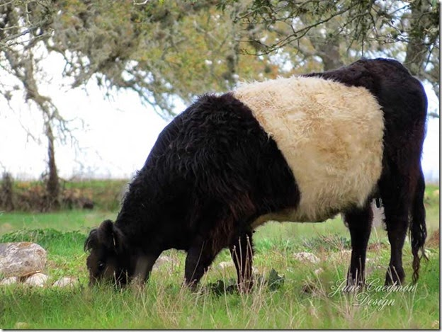Belted_Galloway
