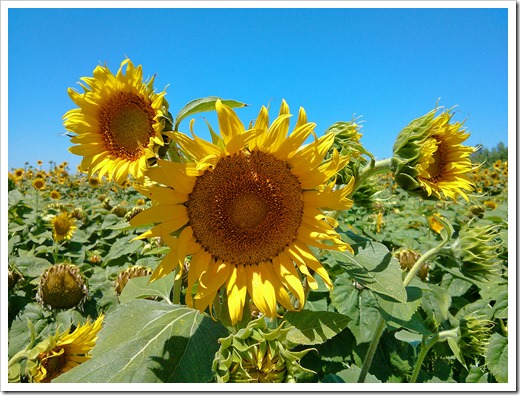 130706_CR102_sunflowers_09