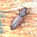 Dry bark beetle