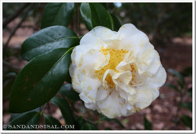 Chow's Han-Ling Camellia (1024x683)