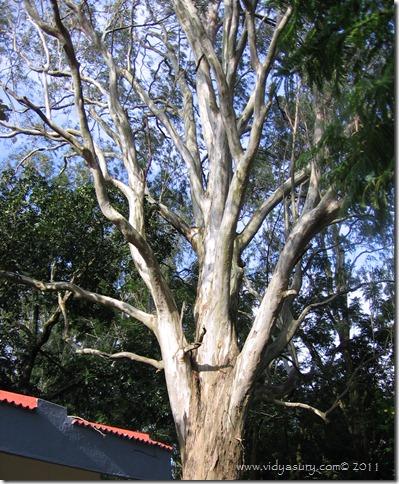 VidyaSury Oldest EucalyptusTree
