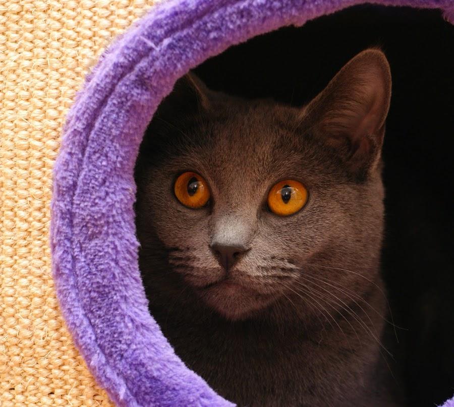 Harmonie by Serge Ostrogradsky - Animals - Cats Portraits ( chartreux, harmonie, chat )