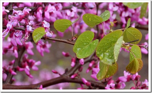 120313_Cercis-occidentalis_07