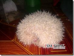 hedgehog, pet