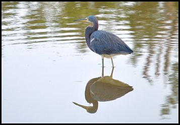 08c - Eco Pond - Tri-Colored Heron