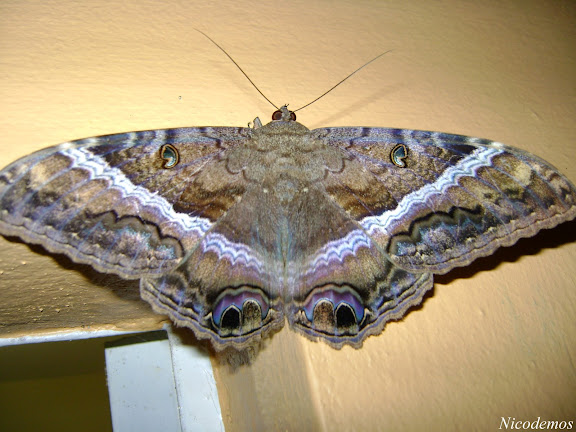 Noctuidae : Ascalapha odorata (LINNAEUS, 1758), femelle. Pitangui (MG, Brésil), 27 avril 2009. Photo : Nicodemos Rosa