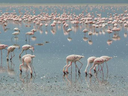 Safari Kenya: Flamingo la Nakuru