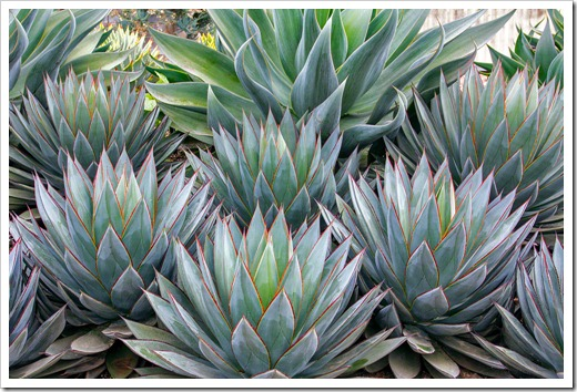 120929_SucculentGardens_Agave-Blue-Glow_06