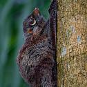 Juvenile Flying Lemur