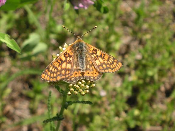 Euphydryas davidi OBERTHÜR, 1881,mâle. Tigrovoy, 25 juin 2011. Photo : J. Michel