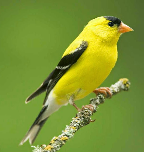 Suara burung american goldfinch