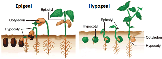 seed germination - epigeal and hypogeal