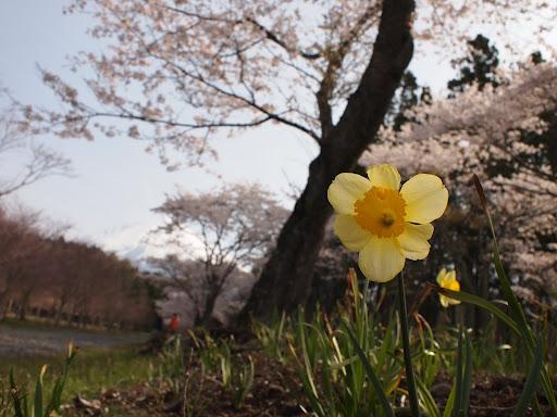 [写真]水仙と桜]