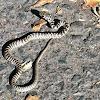 Bull snake or Gopher snake