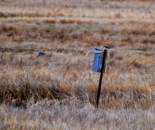 23. tree swallows-kab