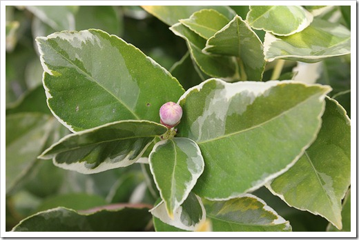 120121_variegated_lemon