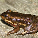 Carpenter Frog