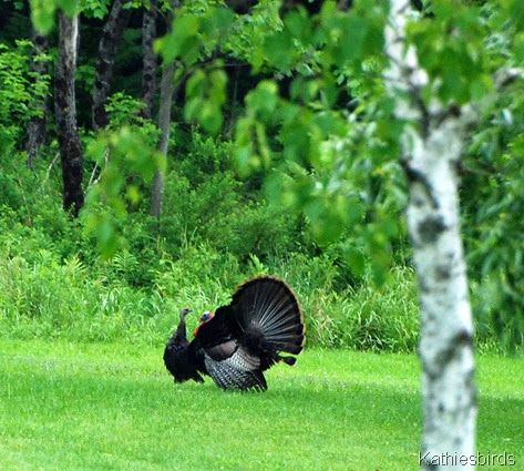 8. turkeys-kab