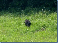 0177 Great Smoky Mountain National Park  - Tennessee - Cades Cove Scenic Loop (again) - Black Bear