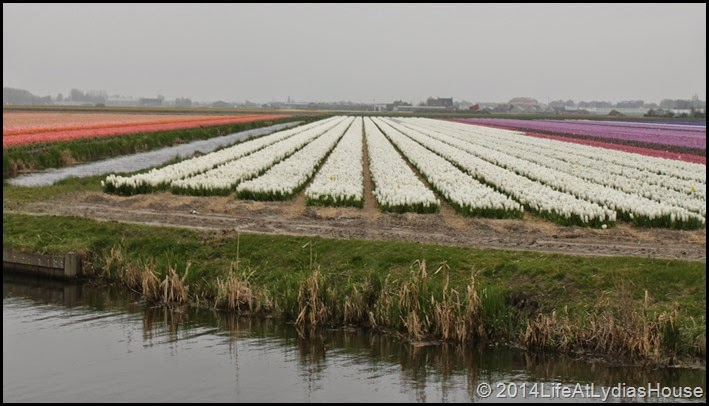 holland flower fields 2